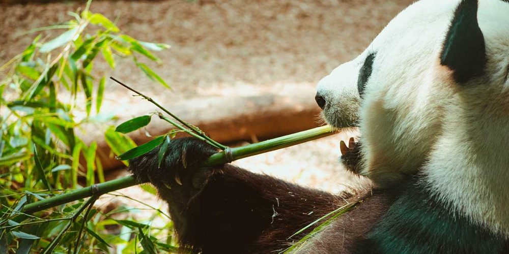 Chine classique et Pandas du Sichuan